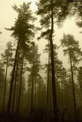 wood (midge 1971) Tags: trees sepia forest scotland sony perthshire perth alpha