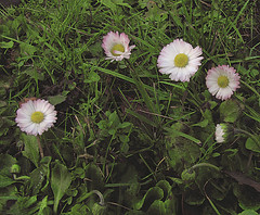 """Bellis perennis"" blooming in november (Per Ola Wiberg ~ powi) Tags: november sweden loveit harmony sverige bellisperennis 2011 ekerö tusensköna keepyoureyesopen shining★star naturestyle broochawards"