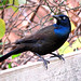 Common Grackle - Photo (c) Joseph Pescatore, some rights reserved (CC BY-ND)