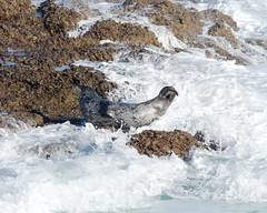 Harbor Seal Photo