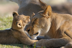 Lioness & cubs at Wild Animal Park in Escondido-44 2-12-08