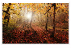 Glowing (calderdalefoto) Tags: uk autumn england fall woodland woods yorkshire halifax copley calderdale northdean
