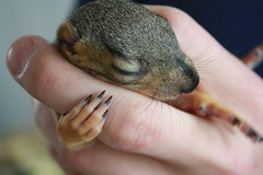 Hold me Sleepy (oberle) Tags: cute animal animals mammal hands squirrel squirrels hand fuzzy adorable mammals hold
