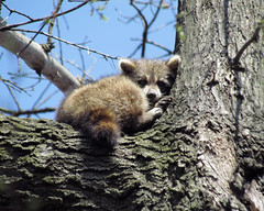 """185/365 """"Baby raccoon"""" (Explored front page) (Beth Duri) Tags: baby canon raccoon superzoom sx30is"""