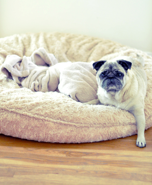 the biggest dog bed on the planet + bebop the pug