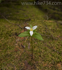 "Trillium • <a style=""font-size:0.8em;"" href=""http://www.flickr.com/photos/63501323@N07/5883203471/"" target=""_blank"">View on Flickr</a>"