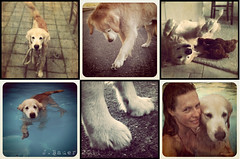 26/52 Cisco's week on instagram (Ciscolo) Tags: dog goldenretriever mosaic cisco 2652 iphoneography 52weeksfordogs iphone3gs