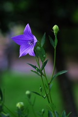 ()/Platycodon grandiflorum (nobuflickr) Tags: flower nature japan kyoto   platycodongrandiflorum  baloonflower   awesomeblossoms chisyakuintemple