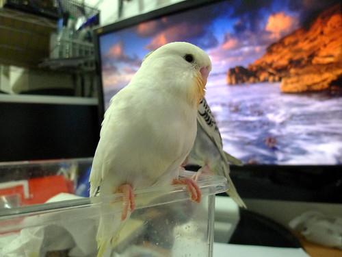 [小雪寫真集] 虎皮大頭鸚鵡寶寶