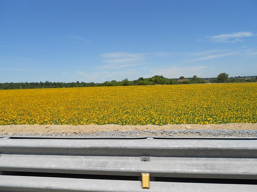 Sunflowers on Side of Road in France