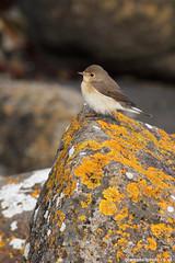 RedBreastedFlycatcher1011 18###### (gcampbellphoto) Tags: canon northernireland vagrant portrush rarity rarebird redbreastedflycatcher