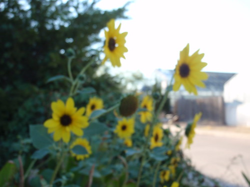 Blurry Sunflowers