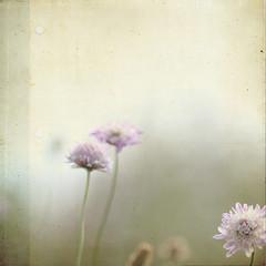Flors silvestres [Wildflowers] (L'hort de la Lolo | Agnès) Tags: flowers flores flower texture textura floral fleur fleurs flor desenfoque florals wildflower flors quadrat quadrada scabiosaatropurpurea escabiosa florssilvestres lesbrumesmerci lhortdelalolo