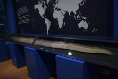 Oarfish (Aula del Mar, Cepesma) (Olaya Garcia) Tags: espaa museum canon eos mar asturias museo aula luarca oarfish cepesma auladelmar 1000d regalecusglesne reydelarenque pezremo
