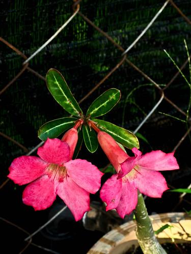 IMG_1465 富贵花