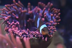 Falscher Clownfisch / Clownfish (picture!dude) Tags: sea fish macro water up closeup aquarium underwater close clown under clownfish anemone makro anemonefish false percula magnifica clownfisch ocellaris amphiprion falscher seeanemone heteractis seeanemonen