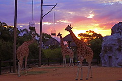 Sunset in Taronga Zoo (Muchan5) Tags: sunset nature animal animals lumix zoo sydney giraffes giraffe tarongazoo ausralia panasonicdmcfx7 mygearandme mygearandmepremium mygearandmebronze mygearandmesilver mygearandmegold mygearandmeplatinum mygearandmediamond