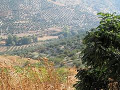 Paisaje andaluz (Micheo) Tags: andalucia paisaje landscape olivos olivares olivegroves olivetrees aceitunas