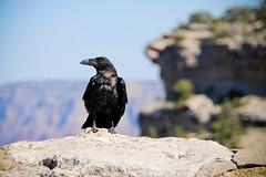 On the rocks (chrishayworth) Tags: park red arizona black birds river colorado rocks view desert grand canyon ravensnational