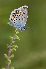 SILVER STUDDED BLUE  2011  #7 (GOLDENORFE) Tags: macro butterfly insect butterflys silverstuddedblue macroextreme macrolife dragondaggerphoto macrolifeelite