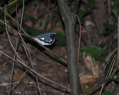 10-22-11 Black Throated Blue Warbler-Mead (janeswalden) Tags: park blue winter black male bird gardens florida birding migratory mead migration warbler throated