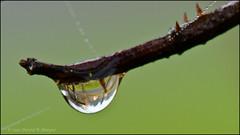 Day 296 :: 365 ..::.. Raindrops 2 (Echo9er) Tags: macro photography nikon bokeh raindrops nikkor spiderwebs inmyyard oct11 project365 105mmf28macro mostly365 nikond300s 201110 20111023