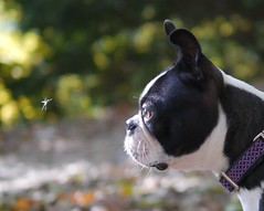 Mosquito vs Boston Terrier