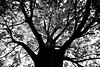 Knew a Tree in Boston (Thomas Hawk) Tags: bw usa tree boston unitedstates massachusetts unitedstatesofamerica bostoncommon natureshand dmuboston dmuboston102010 dmuboston2010