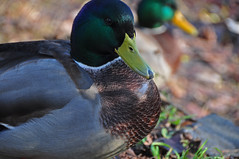 Eye contact (Poupetta) Tags: duck mallard autumnlight tlbay helsinkihelsingforsfinland