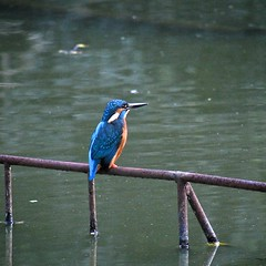 Common Kingfisher in Fudoh-Pond (2/3) (macpapaja) Tags: wild bird nature square casio exf1