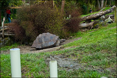 Auckland Zoo - Giant turtle