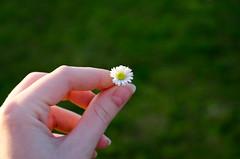 He loves me, he loves me not... (Kaat dg) Tags: flower nature nikon hand daisy