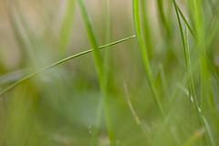 Green Haze (Djenzen) Tags: green nature grass groen natuur gras