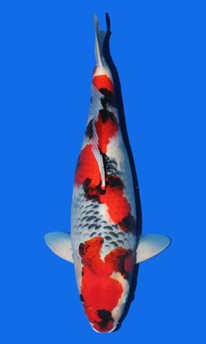 Isa Showa 65cm