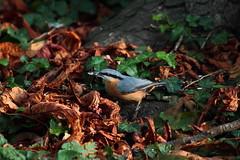 Tea time... (Alexandre Kundun) Tags: tree bird canon rouge eos leaf 7d gorge arbre oiseau 100400mm feuille alextotoro