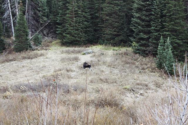 Salt Lake City canyon moose 1