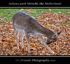 Strike the pose (drbob97) Tags: park autumn holland fall netherlands dutch leaves animal canon pose utrecht young nederland deer fawn strike juliana leafs dier 70200mm drbob hertenkamp herten utreg bladderen sooc 40d friendsphotography mygearandme mygearandmepremium drbob97