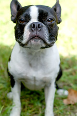 Why so serious? (elvissa) Tags: bostonterrier thedude handsomeboy cuteface