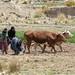 Campesinos che lavorano la terra alla vecchia maniera (fuori Potosi)