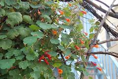 Tropaeolum tuberosum (FarOutFlora) Tags: tropaeolum tuberosum