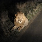 "Lion on Night Drive <a style=""margin-left:10px; font-size:0.8em;"" href=""http://www.flickr.com/photos/14315427@N00/6347189348/"" target=""_blank"">@flickr</a>"