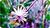 Pinwheel (Kalyna Harasymiv) Tags: flowers blackandwhite bw macro nature spring twilight natural australia bugs canberra greyscale kalyna