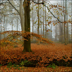 trees and fog (atsjebosma) Tags: november autumn trees leaves fog bomen ngc herfst nederland thenetherlands npc groningen beuk bladeren 2011 idream atsjebosma leuropepittoresque
