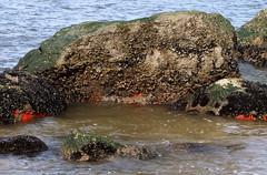 Glacial Erratic with Blue Mussels, Barnacles, and Sponge (sandy richard) Tags: longisland beaches wildwood wildwoodstatepark sandyrichard sandrarichard