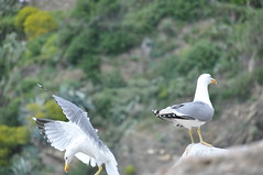 (elegantspirit) Tags: italy bird birds rio la fly nice movement italia shot terre maggiore cinque timing spezia seageal