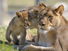 Lionesses & cub at Wild Animal Park in Escondido-13 2-12-08