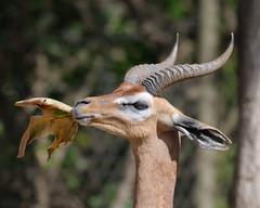 Southern Gerenuk at Wild Animal Park in Escondido-54 2-24-09