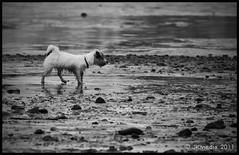 Jack (JKmedia) Tags: uk christchurch england bw dog pet white black animal jack russell small wed canine dorset lowtide muddy mudeford canoneos40d jkmedia