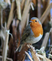 Rockin' Robin 19-11-2011 (Karen Roe) Tags: camera uk greatbritain november autumn england lake cold bird robin digital canon photography photo suffolk europe branch village shot image erithacusrubecula picture photograph dslr capture common spotting redbreast 2011 lackford 550d lackfordlake karenroe suffolkwildlifetrust canoneos550d