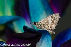 Skipper #018 (The Fantastic G) Tags: macro butterfly texas moth skipper insecta sbr200 nikonr1 nikond7000 sigma150mm28exapodghsmmacro sigma14xtcapodgex
